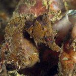 cavalluccio camuso 15 150x150 Hippocampus hippocampus, Cavalluccio marino camuso