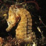 cavalluccio camuso 21 150x150 Hippocampus hippocampus, Cavalluccio marino camuso