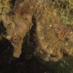 cavalluccio camuso 22 150x150 Hippocampus hippocampus, Cavalluccio marino camuso