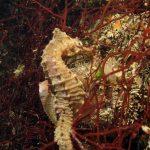cavalluccio camuso 24 150x150 Hippocampus hippocampus, Cavalluccio marino camuso
