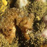 cavalluccio camuso 25 150x150 Hippocampus hippocampus, Cavalluccio marino camuso