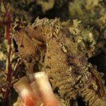 cavalluccio camuso 26 150x150 Hippocampus hippocampus, Cavalluccio marino camuso