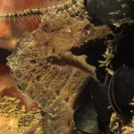 cavalluccio camuso 27 150x150 Hippocampus hippocampus, Cavalluccio marino camuso