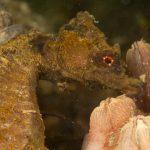 cavalluccio camuso 28 150x150 Hippocampus hippocampus, Cavalluccio marino camuso