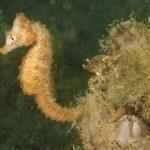 cavalluccio camuso 30 150x150 Hippocampus hippocampus, Cavalluccio marino camuso