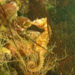 cavalluccio camuso 31 150x150 Hippocampus hippocampus, Cavalluccio marino camuso