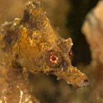 cavalluccio camuso 32 150x150 Hippocampus hippocampus, Cavalluccio marino camuso