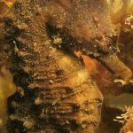 cavalluccio camuso 33 150x150 Hippocampus hippocampus, Cavalluccio marino camuso