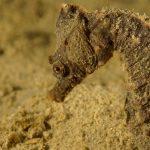 cavalluccio camuso 36 150x150 Hippocampus hippocampus, Cavalluccio marino camuso