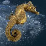 cavalluccio camuso 40 150x150 Hippocampus hippocampus, Cavalluccio marino camuso