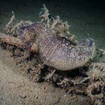 cavalluccio camuso 44 150x150 Hippocampus hippocampus, Cavalluccio marino camuso