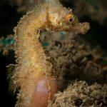 cavalluccio camuso 50 150x150 Hippocampus hippocampus, Cavalluccio marino camuso