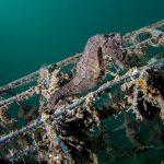 cavalluccio camuso 69 150x150 Hippocampus hippocampus, Cavalluccio marino camuso