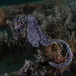 cavalluccio camuso 72 150x150 Hippocampus hippocampus, Cavalluccio marino camuso