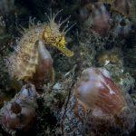 cavalluccio marino 107 150x150 Hippocampus guttulatus , Cavalluccio marino