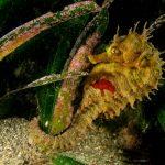 cavalluccio marino 144 150x150 Hippocampus guttulatus , Cavalluccio marino