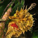cavalluccio marino 145 150x150 Hippocampus guttulatus , Cavalluccio marino
