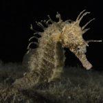 cavalluccio marino 29 150x150 Hippocampus guttulatus , Cavalluccio marino