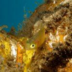 centrolofo giovane 03 150x150 Centrolophus niger   Ricciola di fondale