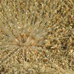 cerianto solitario 17 150x150 Pachyceriantus solitarius, Cerianto solitario