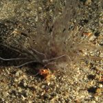 cerianto solitario 28 150x150 Pachyceriantus solitarius, Cerianto solitario