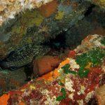 cernia 36 150x150 Epinephelus marginatus   Cernia bruna
