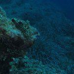 cernia 62 150x150 Epinephelus marginatus   Cernia bruna