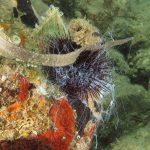 cetriolo di mare 45 150x150 Holoturia tubulosa   Oloturia cetriolo di mare