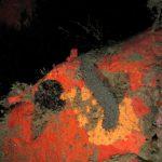 cetriolo di mare 56 150x150 Holoturia tubulosa   Oloturia cetriolo di mare