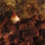 cetriolo di mare 60 150x150 Holoturia tubulosa   Oloturia cetriolo di mare