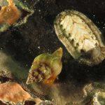 chitone 29 150x150 Chiton olivaceus   Chitone oliva