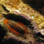 chitone corallino 02 150x150 Chitone corallino
