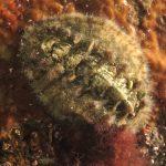 chitone spinoso 17 150x150 Crinita crinita   Chitone spinoso