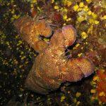 cicala 11 150x150 Scyllarides latus   Magnosa