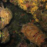 cicala 13 150x150 Scyllarides latus   Magnosa