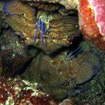 cicala 16 150x150 Scyllarides latus   Magnosa