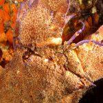 cicala 37 150x150 Scyllarides latus   Magnosa