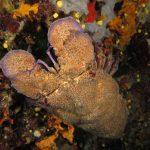 cicala 46 150x150 Scyllarides latus   Magnosa