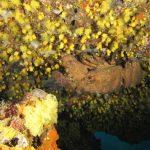 cicala 51 150x150 Scyllarides latus   Magnosa