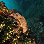 cicala 67 150x150 Scyllarides latus   Magnosa