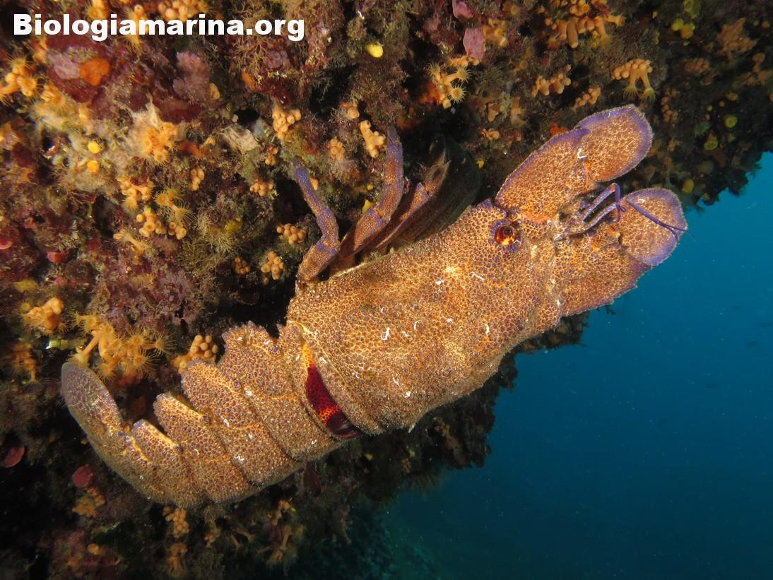 Scyllarides latus – Magnosa