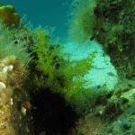cistoseira mediterranea 13 150x150 Cistoseira mediterranea