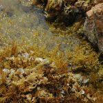 cistoseira spinosa 03 150x150 Cistoseira spinosa