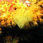 clatrina 17 150x150 Clathrina clathrus   clatrina
