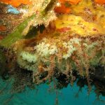 clavelina nana 04 150x150 Clavelina nana, Pycnoclavella taureanensis   Clavelina nana