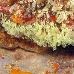 clavelina nana 06 150x150 Clavelina nana, Pycnoclavella taureanensis   Clavelina nana