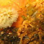 clavelina nana 09 150x150 Clavelina nana, Pycnoclavella taureanensis   Clavelina nana