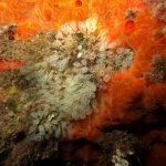 clavelina nana 18 150x150 Clavelina nana, Pycnoclavella taureanensis   Clavelina nana