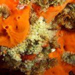 clavelina nana 20 150x150 Clavelina nana, Pycnoclavella taureanensis   Clavelina nana