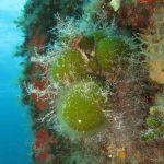 codium bursa 15 150x150 Codium bursa   Alga palla verde
